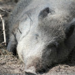 Stock Photo: Feral pig lies