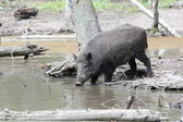 Feral pig in water — Stock Photo