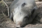 Feral pig lies — Stock Photo