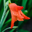 Rain drops on red gladiolus flower closeup — Stock Photo #28689515