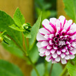 "Dahlia ""Northern Lights"" — Stock Photo"