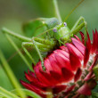 Huge green grasshopper on a red flower — Stock Photo