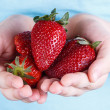 Stock Photo: A child holding a handful of strawberries