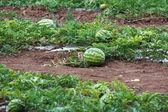 Melon field — Stock Photo