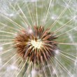 Dandelion heart — Stock Photo