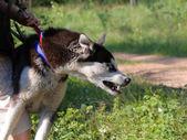 Cão malvado — Foto Stock