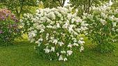 White lilac bush — Stock Photo