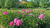 буш розовый пион — Стоковое фото