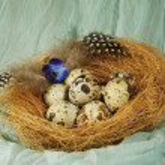 Nest with quail eggs — Stock Photo