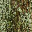 Stock Photo: Bark of tree covered with moss
