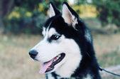 Husky lindo — Foto Stock