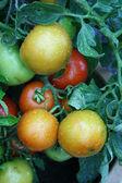 Rajčata — Stock fotografie
