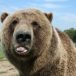 Stock Photo: Rude bear