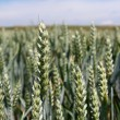 Green wheat on agriculture field — Stock Photo