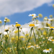 Daisy white blossom under blue sky — Stock Photo #15959711