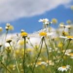 Daisy white blossom under blue sky — Stock Photo