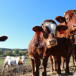 Close up view of brown cows on the field — Stock Photo #17362867