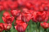 Wirydarz-do góry rzeki czerwony tulipan w parku — Zdjęcie stockowe
