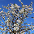 Stock Photo: White flowers of cherry tree under blue sky