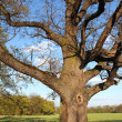 Very old oak tree in green meadow — Stock Photo