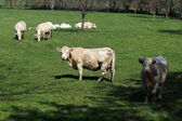 White cows on the green field of Czech ranch — Stock Photo