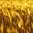 Golden barley spikes on the field — Stock Photo