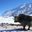 Yak in snowy himalayas - Stock Photo