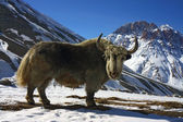 Nice big yak in himalayan mountains — Stock Photo