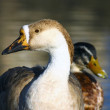 Wild duck couple — Stock Photo