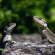 Couple lizard on the stone — Stock Photo
