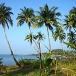 Coconut palm plantation on the south indian coast — Stock Photo