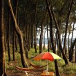 Stock Photo: Colored umbrellunder pinus tree in INDIA