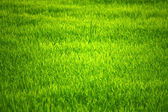 Detail of rice field plants — Stock Photo