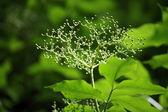 Fleur d'arbre de baies de sureau pendant période de printemps — Photo