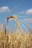 View of barley spike against blue sky — Stock Photo