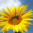 Stock Photo: Detail of sunflower blossom and bee