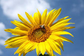 Detail of sunflower blossom and bee — Stock Photo