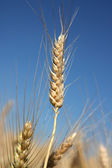 Detail of barley spike before harvest — Stock Photo