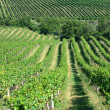 Stock Photo: Fresh green vineyard in central europe