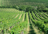 Fresh green vineyard in central europe — Stock Photo