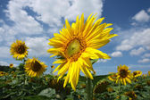 Detail of sunflower blossom on the field — Stock Photo