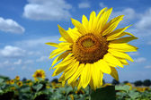 Big blossom of sunflower under cloudy sky — Stock Photo
