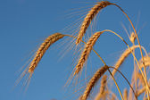 Golden wheat spike before harvest — Stock Photo
