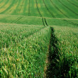 Light green agriculture field with the tractor way path — Stock Photo