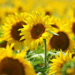 Yellow forest of nice sunflower blossoms — Stock Photo
