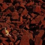 Red Kangaroos — Stock Photo #15757045