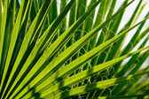 Part of the palm leaf — Stock Photo