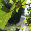 Grapes kept pace — Stock Photo