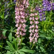 Lupine flowers — Foto Stock