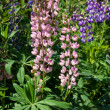 Stockfoto: Lupine flowers
